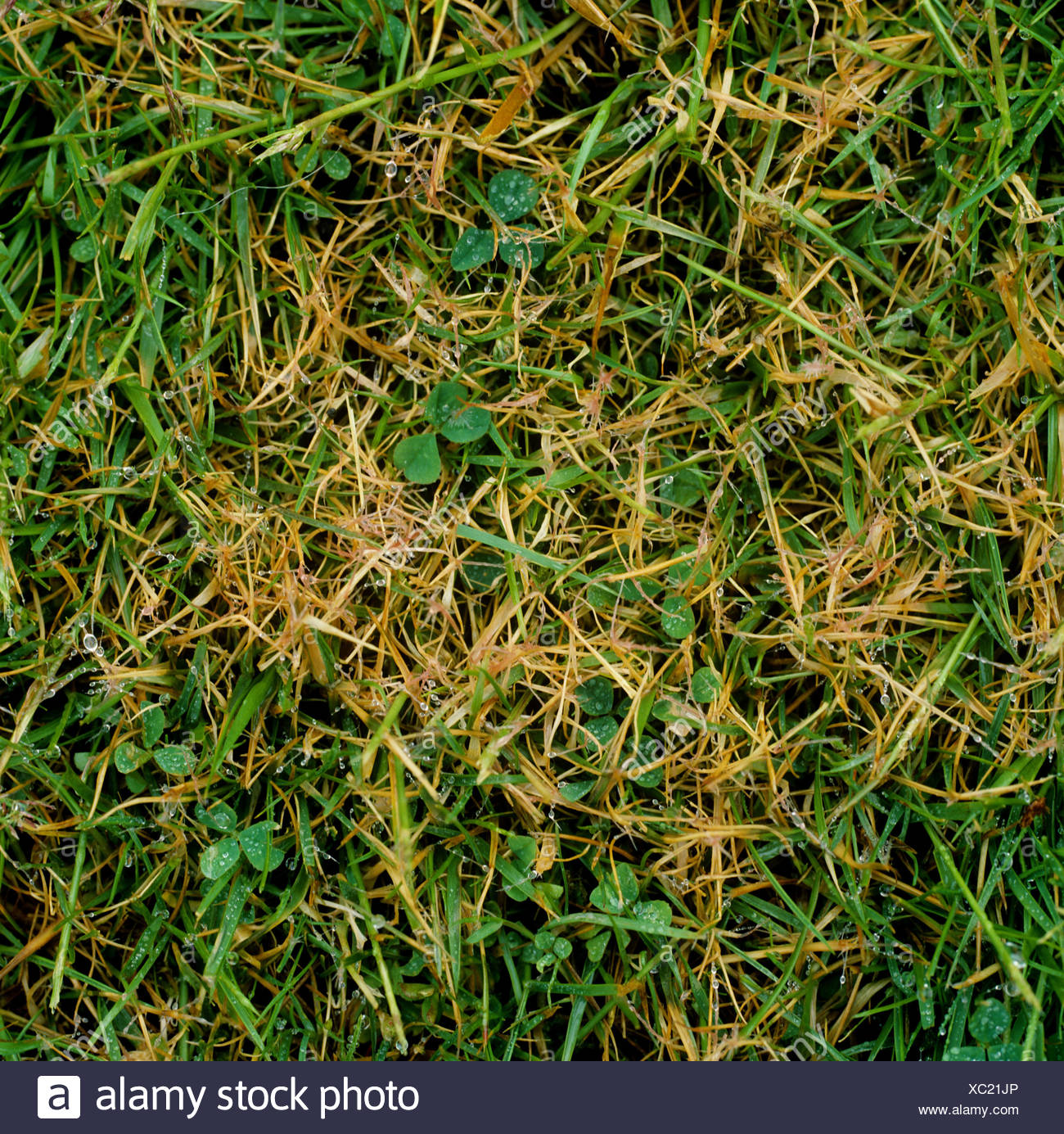 Turf grass patch with red thread Laetisaria fuciformis infection - Stock Image