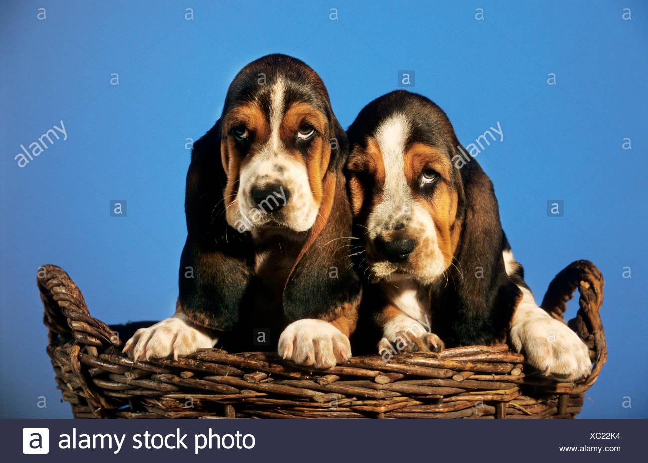 Basset Pups Basset Hound Puppies Hush Puppies Puppy Dog Pet Basset
