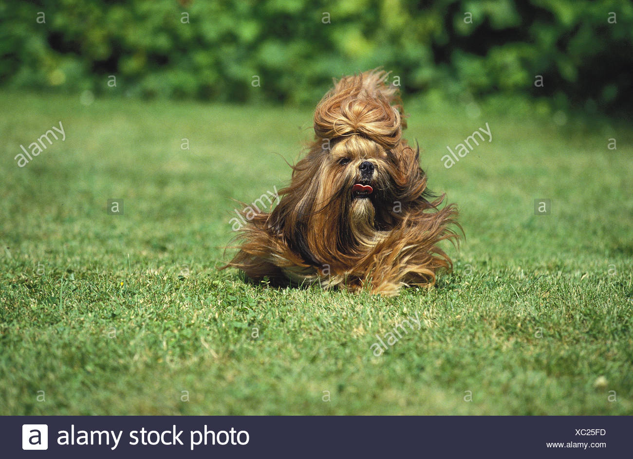 Shi Tzu Hund,meadow,run, - Stock Image