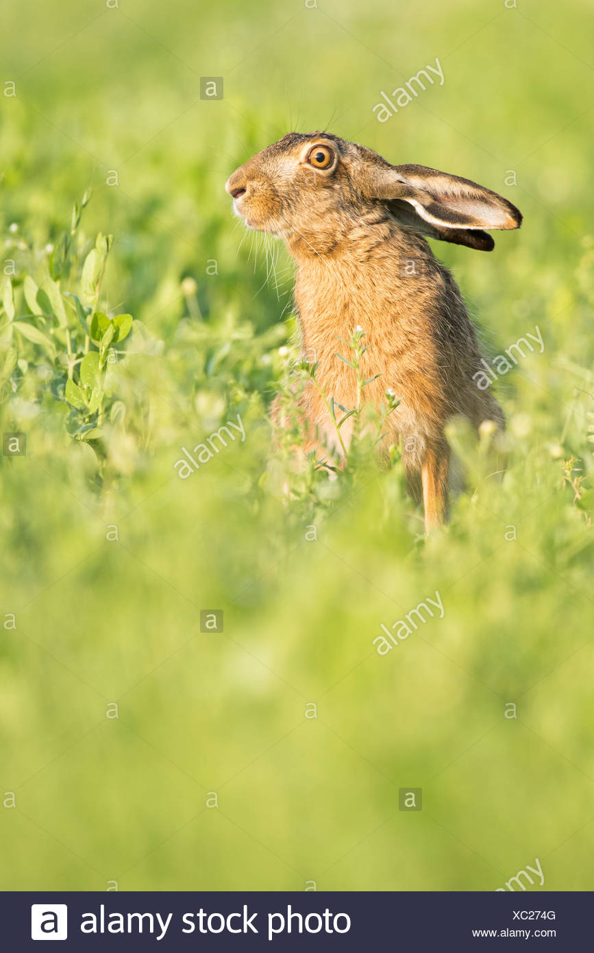 European hare (Lepus europaeus) with hanging ears, sitting in field, Lower Austria, Austria - Stock Image