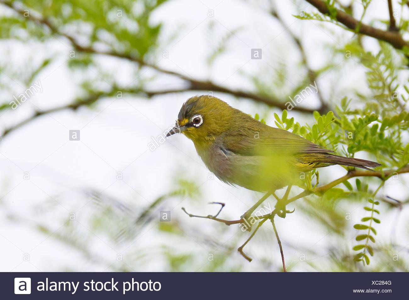 Kap-Brillenvogel, Kapbrillenvogel (Zosterops pallida), sitzt in Busch, Suedafrika, Westkap, Bontebok Nationalpark   Cape white-e - Stock Image