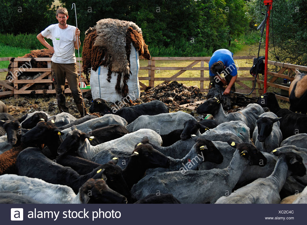 Sheep shearer and assistant holding a crook, freshly shorn sheep at the front and a bag with sheep's wool in the middle - Stock Image