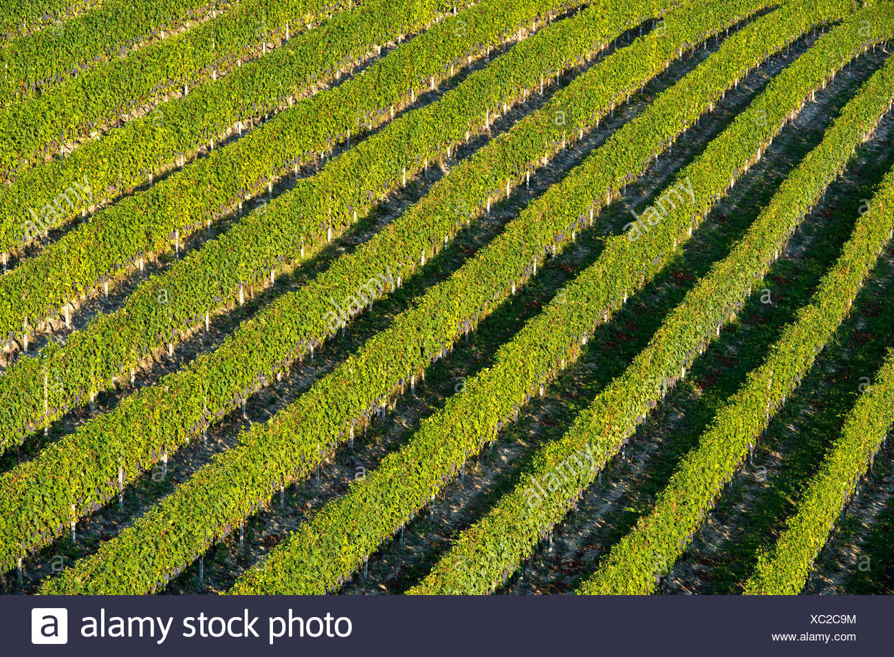 Vineyard with rows of grape vines, Treiso, Piedmont, Italy - Stock Image