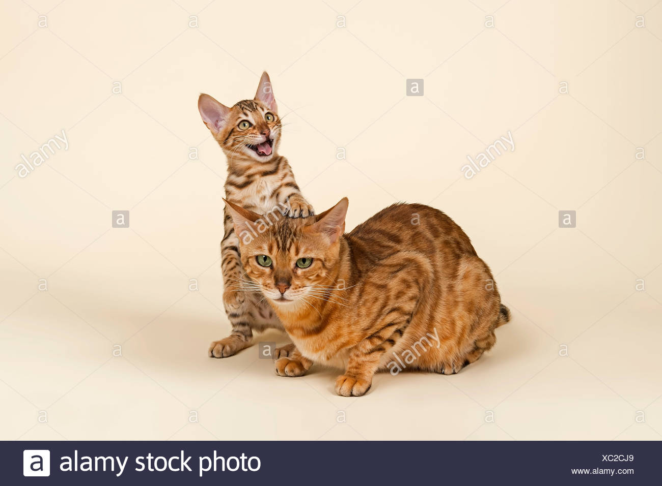 Bengals, lively kitten with fatigued mother - Stock Image