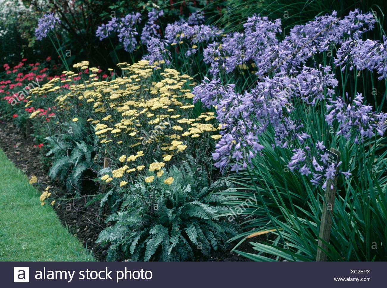 Blue Agapanthus and yellow Achillea filipendula 'Moonshine' in summer garden border - Stock Image