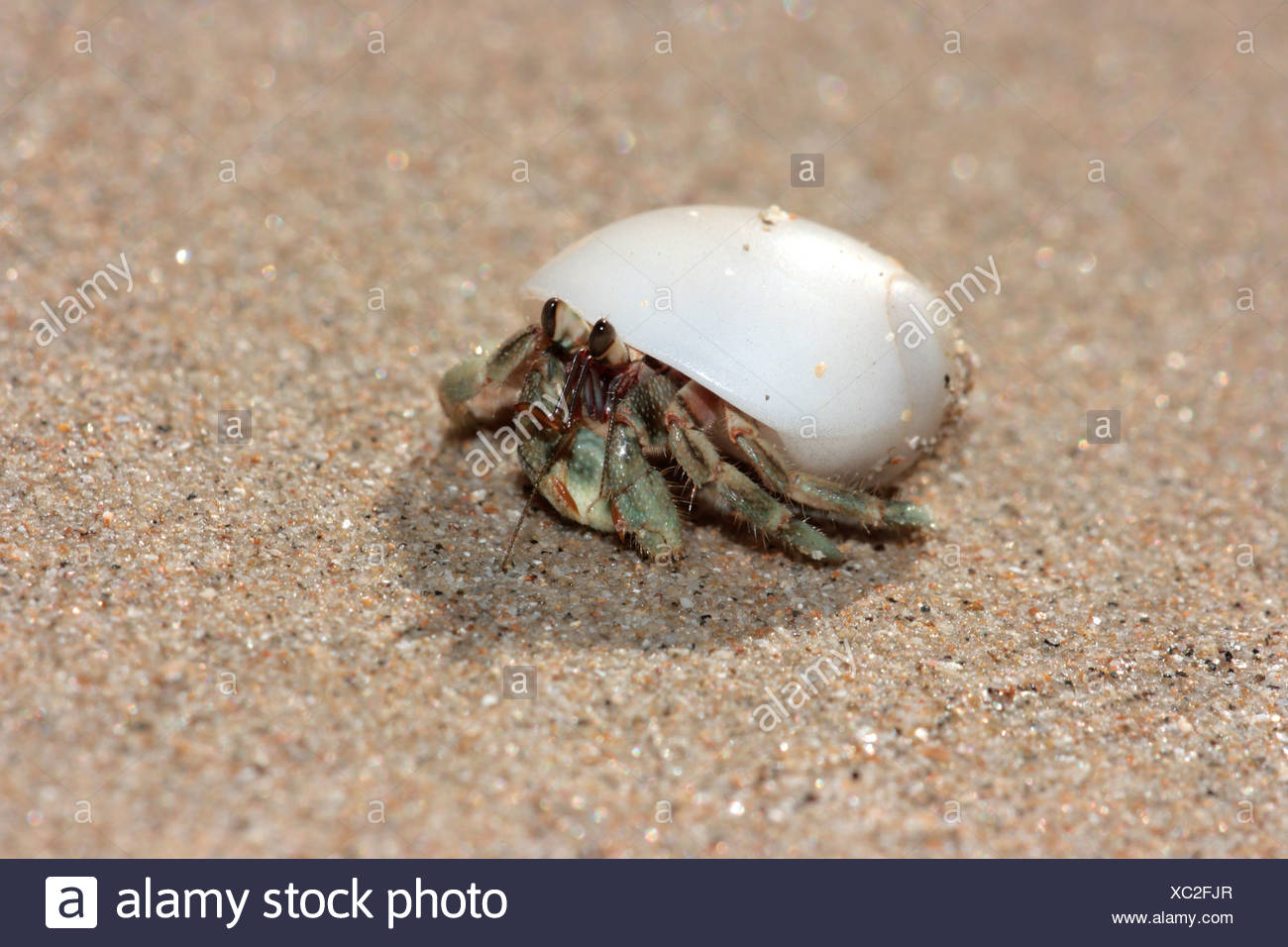 left-handed hermit crabs (Diogenidae), in a white snail shell, Thailand, Khao lak NP - Stock Image