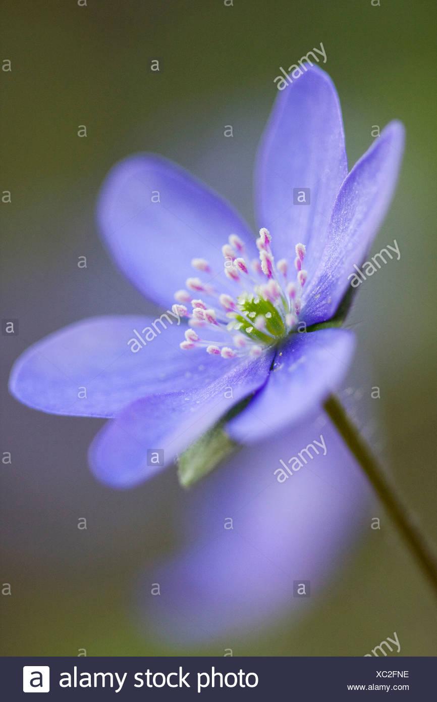 Three-lobed Kidneywort or Common Hepatica (Hepatica nobilis) Stock Photo