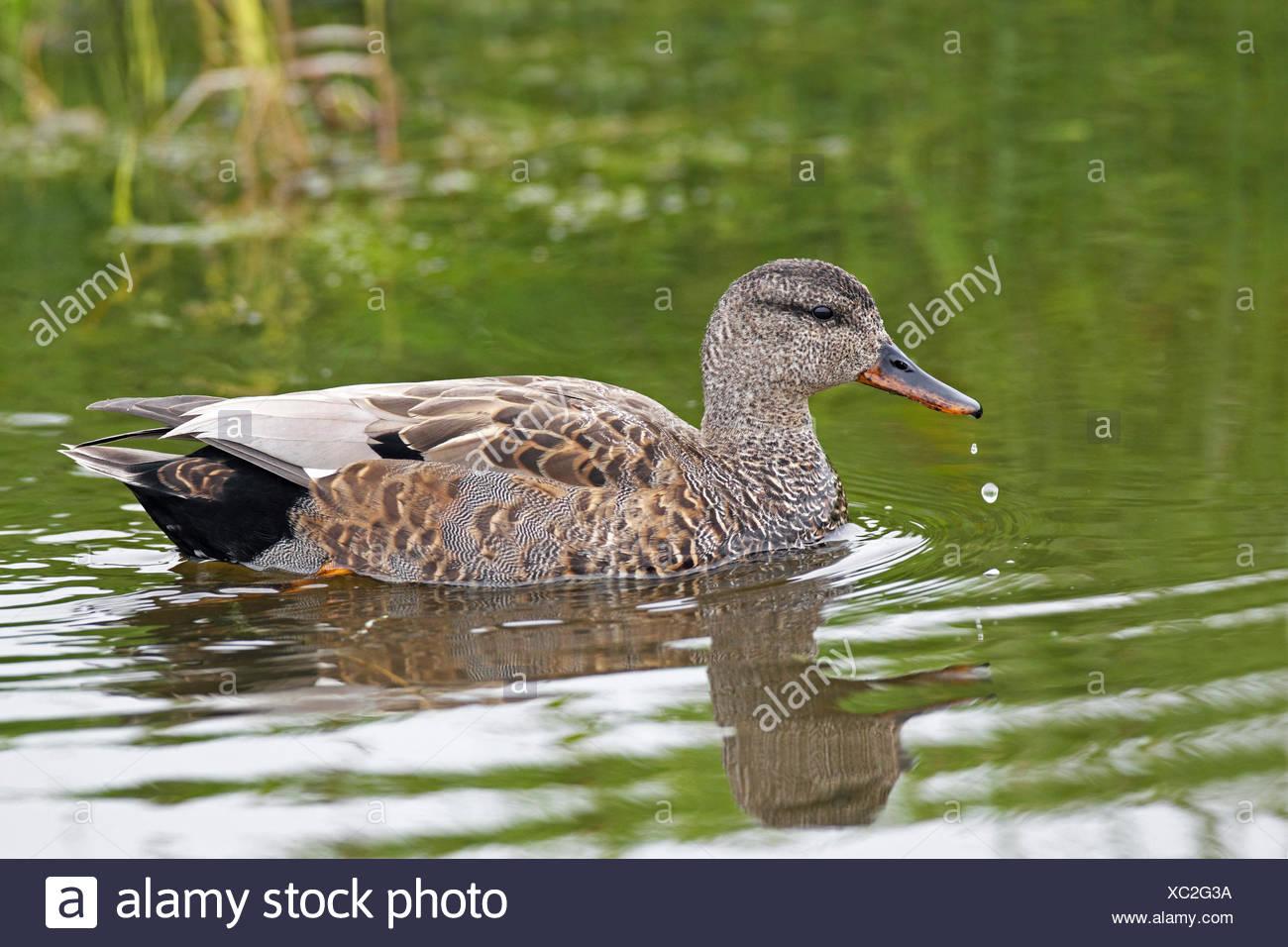 gadwall (Anas strepera, Mareca strepera), male swimming, Netherlands, Frisia - Stock Image