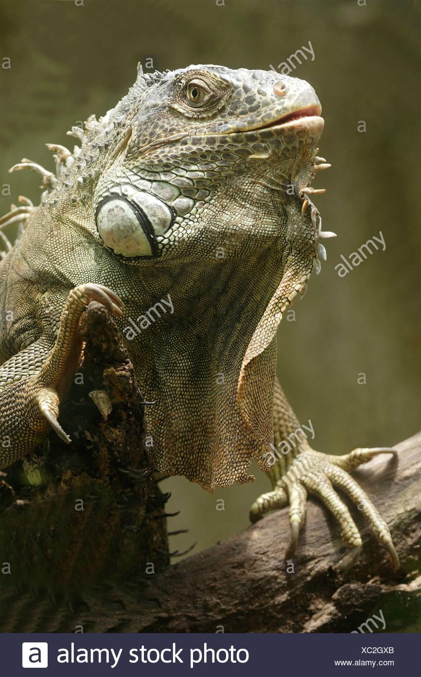 Iguana Like Stock Photos & Iguana Like Stock Images - Alamy