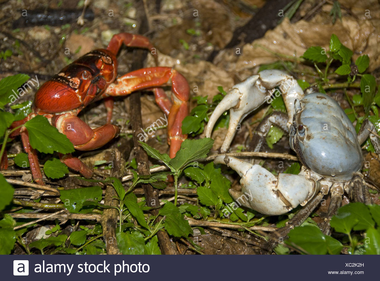 Christmas Island Red Crab.Blue Crab Discoplax Hirtipes And Christmas Island Red Crab