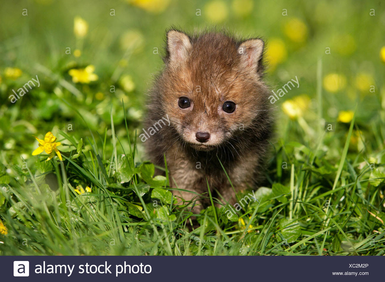 Red Fox, vulpes vulpes, Pup with Flowers, Normandy - Stock Image