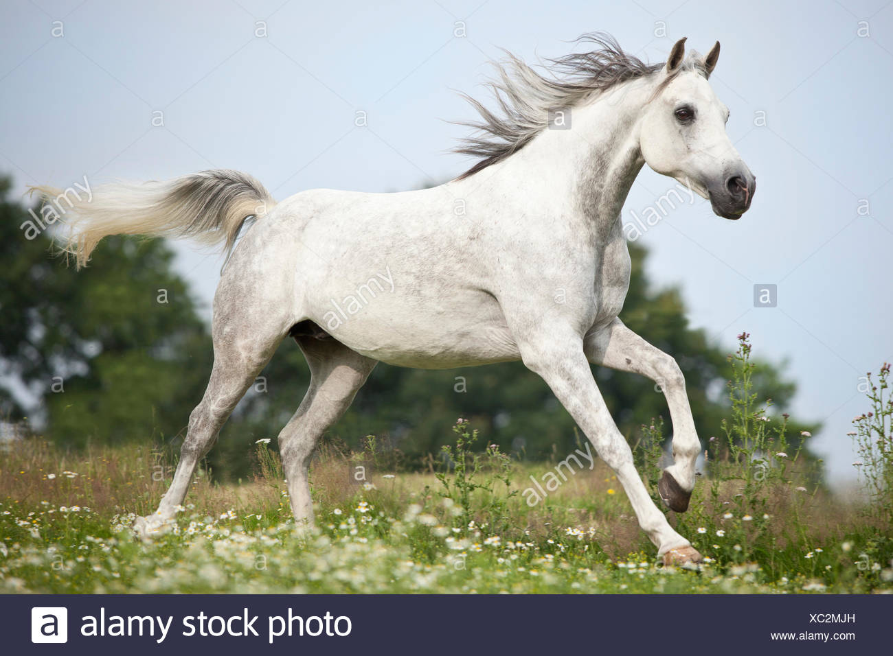 Thoroughbred Arab, dapple gray, gelding galloping on meadow with flowers - Stock Image