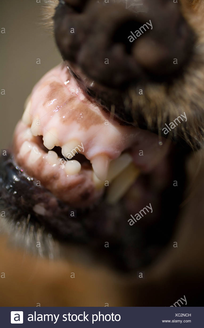 Close-up of a dog snarling - Stock Image