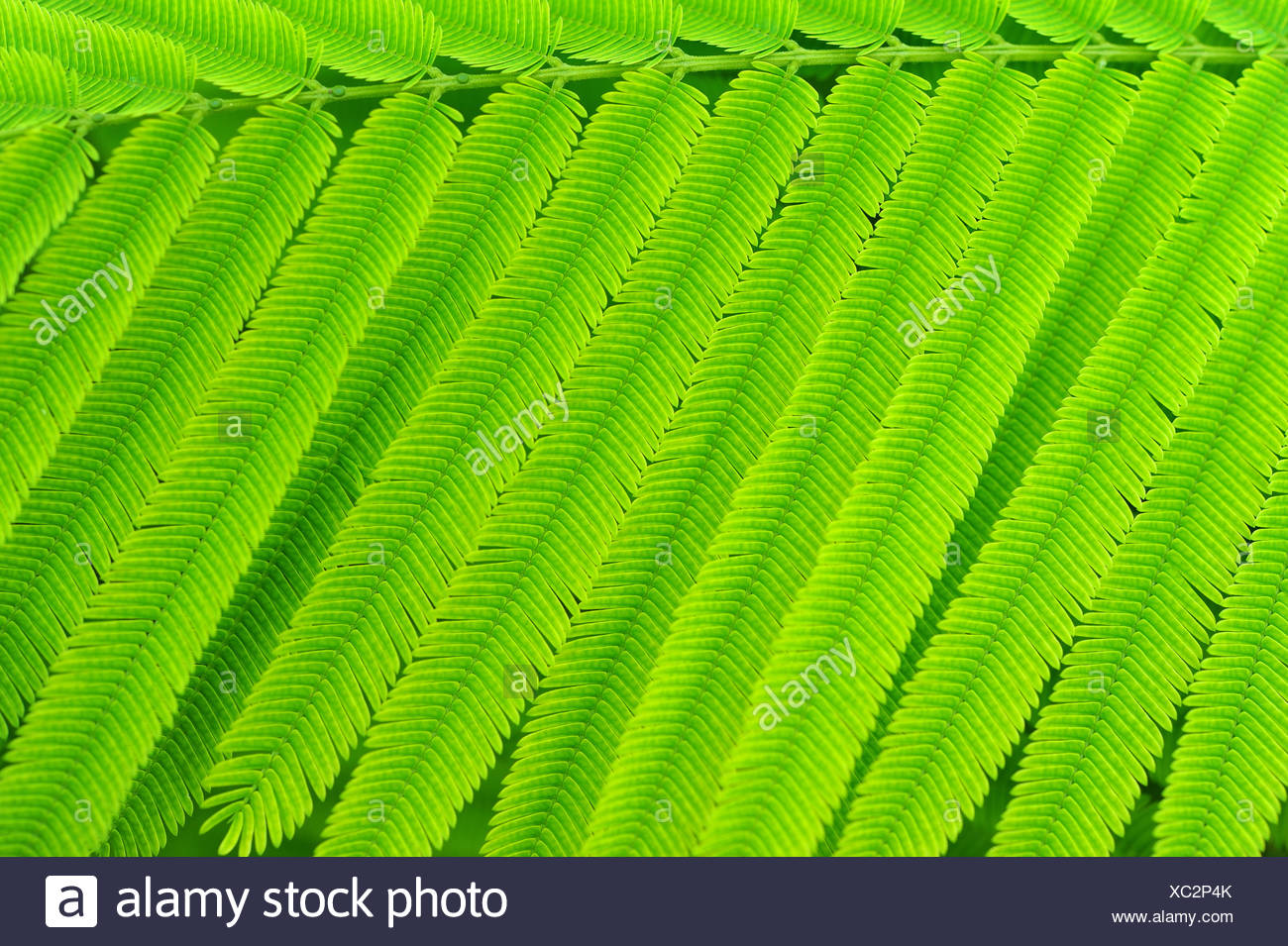 Acacia Leaves Stock Photo 282803043 Alamy