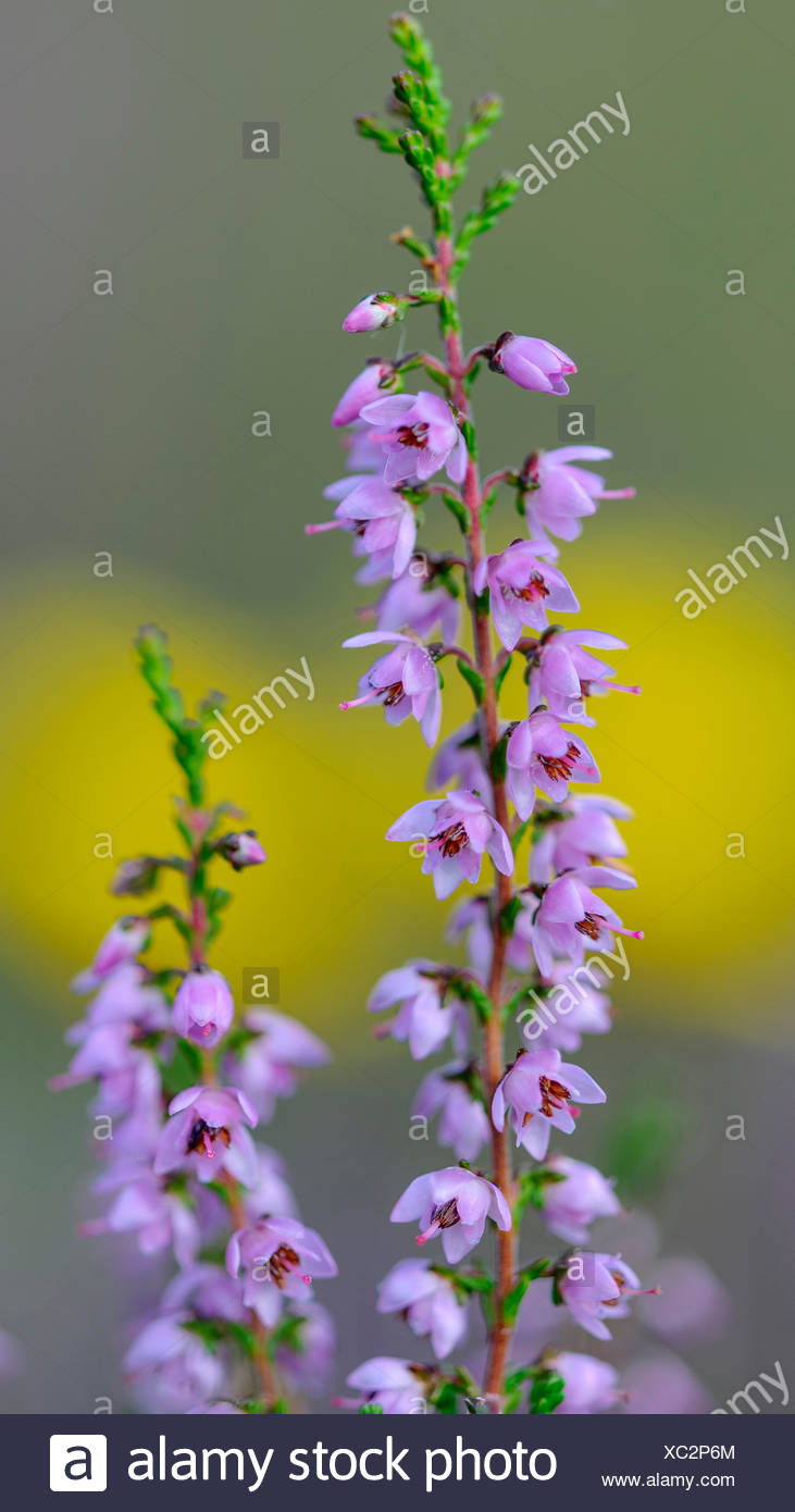 common heather (calluna vulgaris) in hoge veluwe national park, gelderland, netherlands - Stock Image