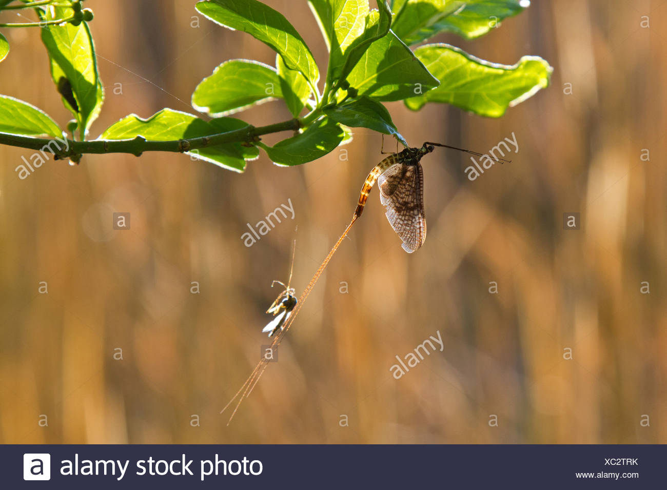mayflies (Ephemeroptera), sitting at a twig with the remains of the skinning, Germany, Bavaria, Lake Chiemsee Stock Photo