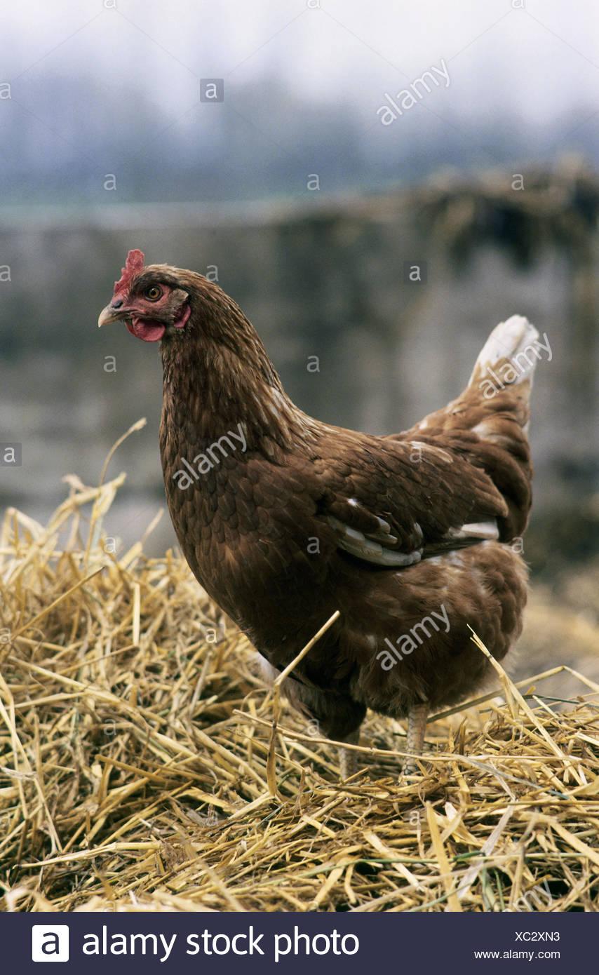 zoology / animals, avian / birds, chicken, (Gallus gallus domesticus), hen standing in hey, distribution: worldwide, - Stock Image
