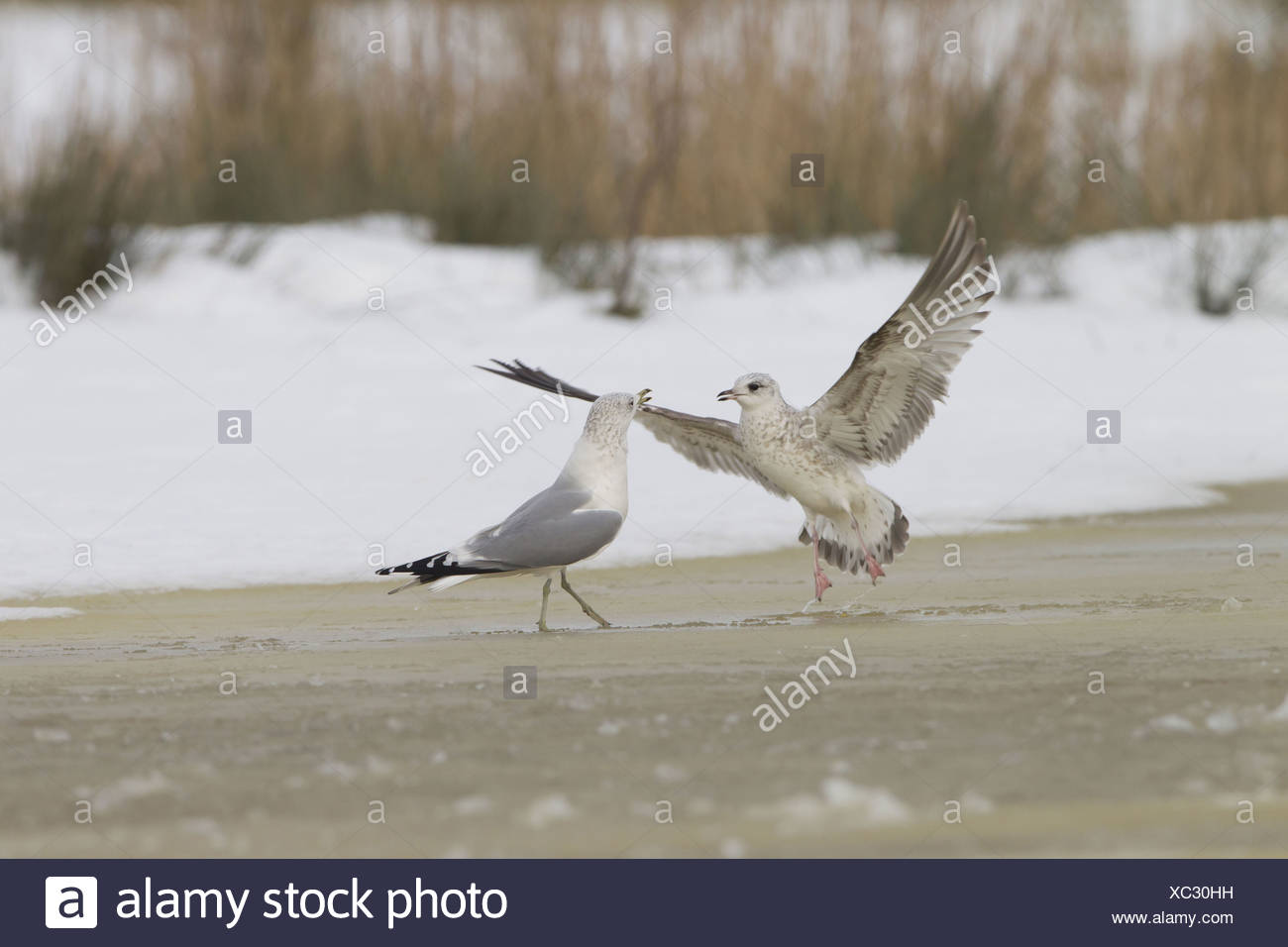 Common Gull Larus canus immature first winter plumage in flight taking off from advancing adult on ice frozen pond Suffolk - Stock Image