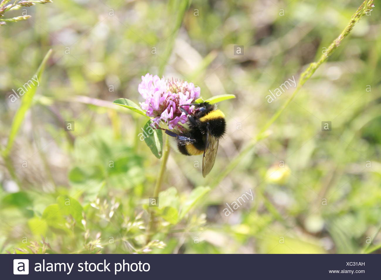 Bumblebee sitting on a clover blossom Stock Photo