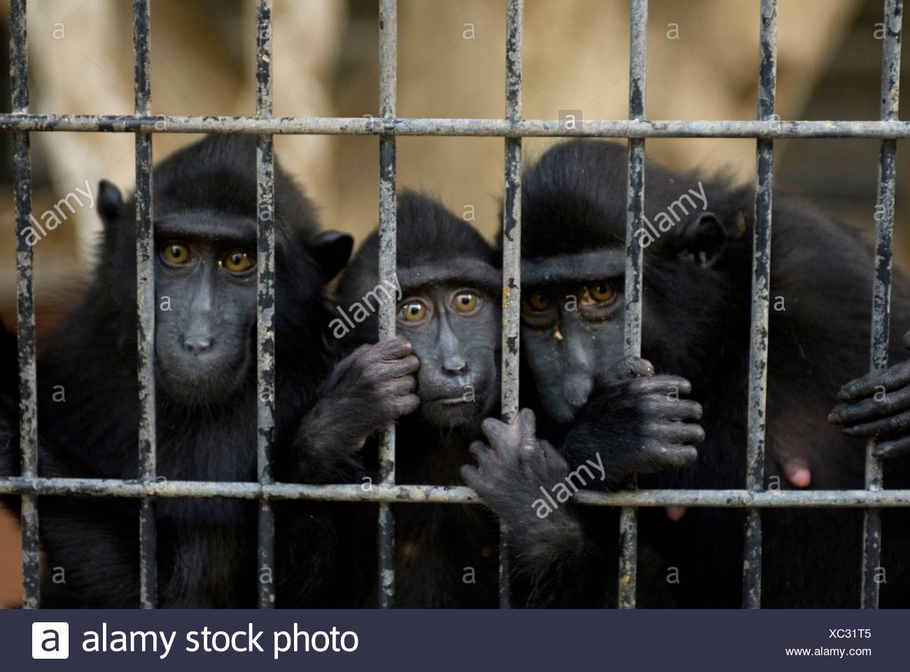 Celebes macaques (Macaca nigra) sadly gaze out of their cage. - Stock Image
