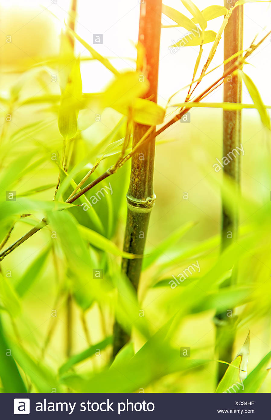 Fresh green bamboo background, exotic asian plant, beautiful