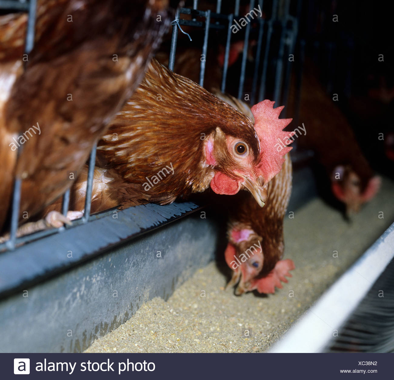 A battery egg laying chicken feeding through the cage bars - Stock Image