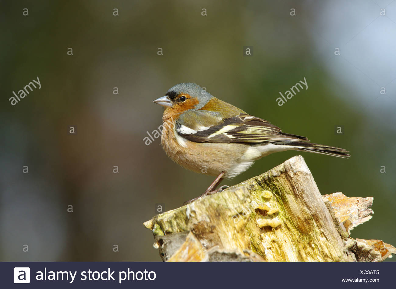 Europe, Sweden, Hamra, animals, bird, passerine bird, finch, ghaffinch, Fringilla coelebs, stump - Stock Image