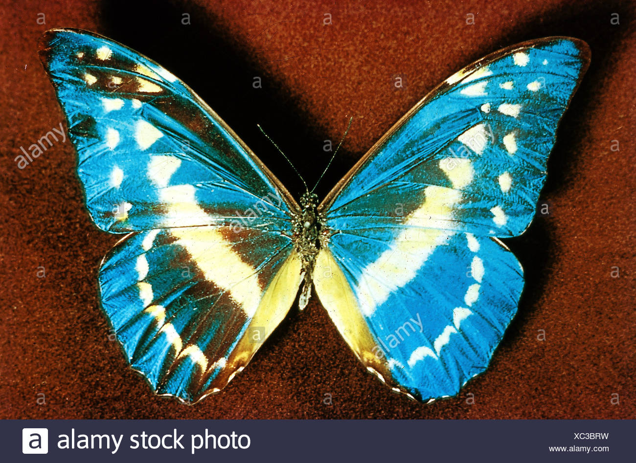 zoology / animals, insect, butterflies, Blue Morpho, (Morpho helena), distribution: Peru, butterfly, Lepidoptera, tropical, moth - Stock Image