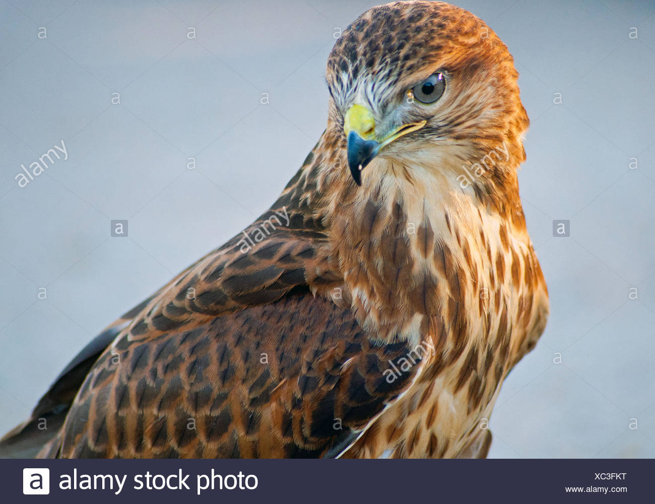 buzzard stock photos buzzard stock images alamy