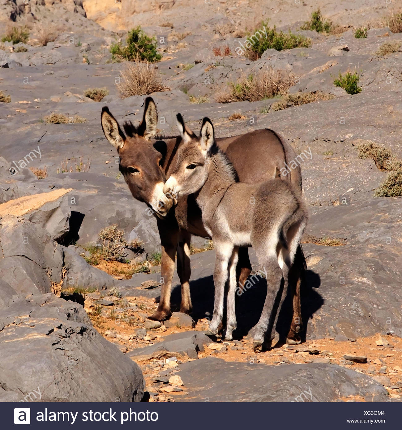 Donkey with younger generation,Oman - Stock Image
