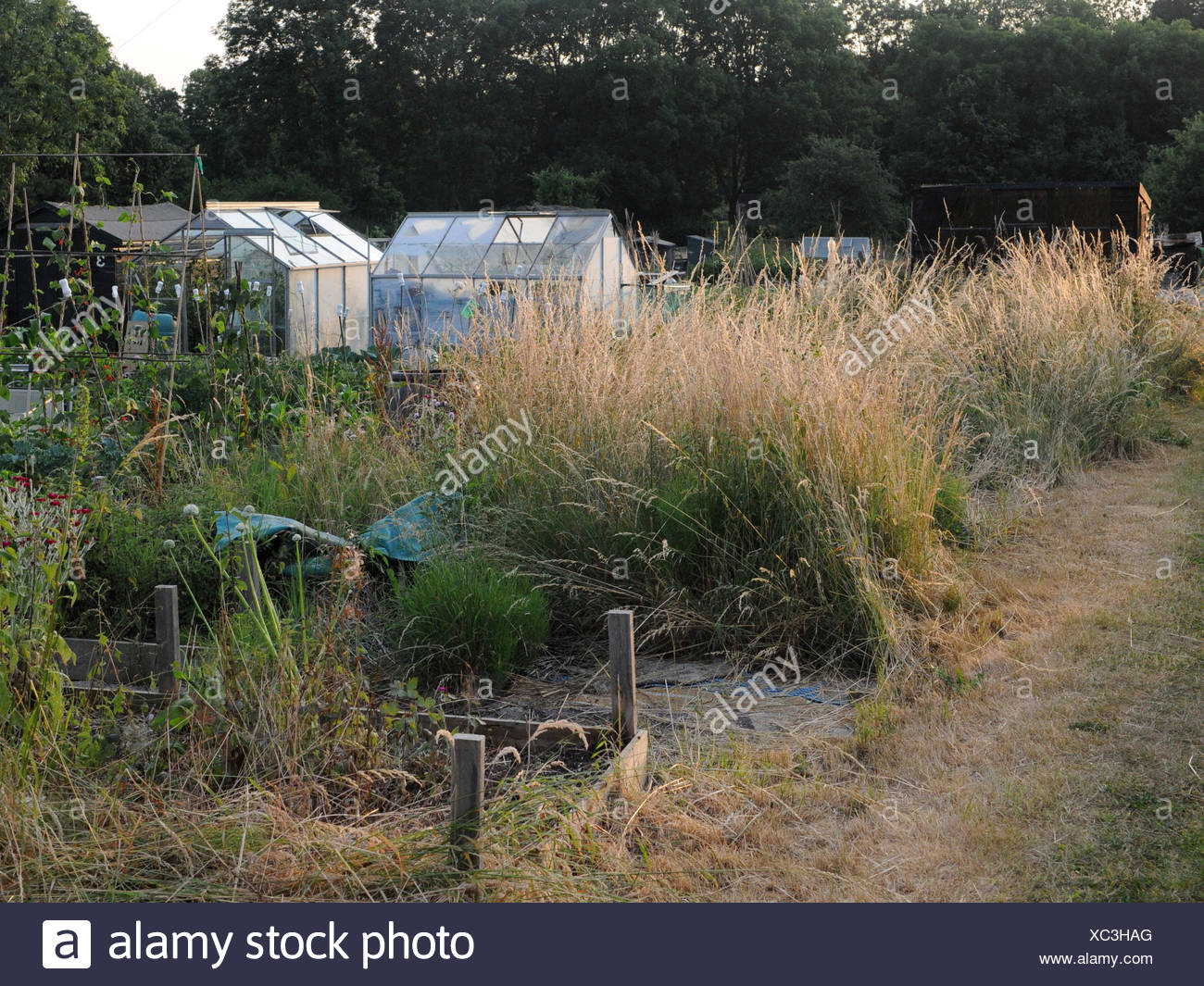 An overgrown allotment plot that is vacant. - Stock Image