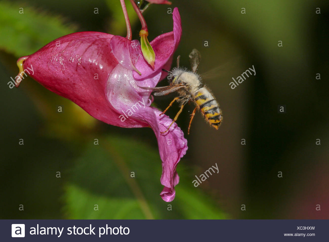 common wasp (Vespula vulgaris, Paravespula vulgaris), infected with mould, suckling nectar an a touch-me-not flower, Germany, Bavaria - Stock Image