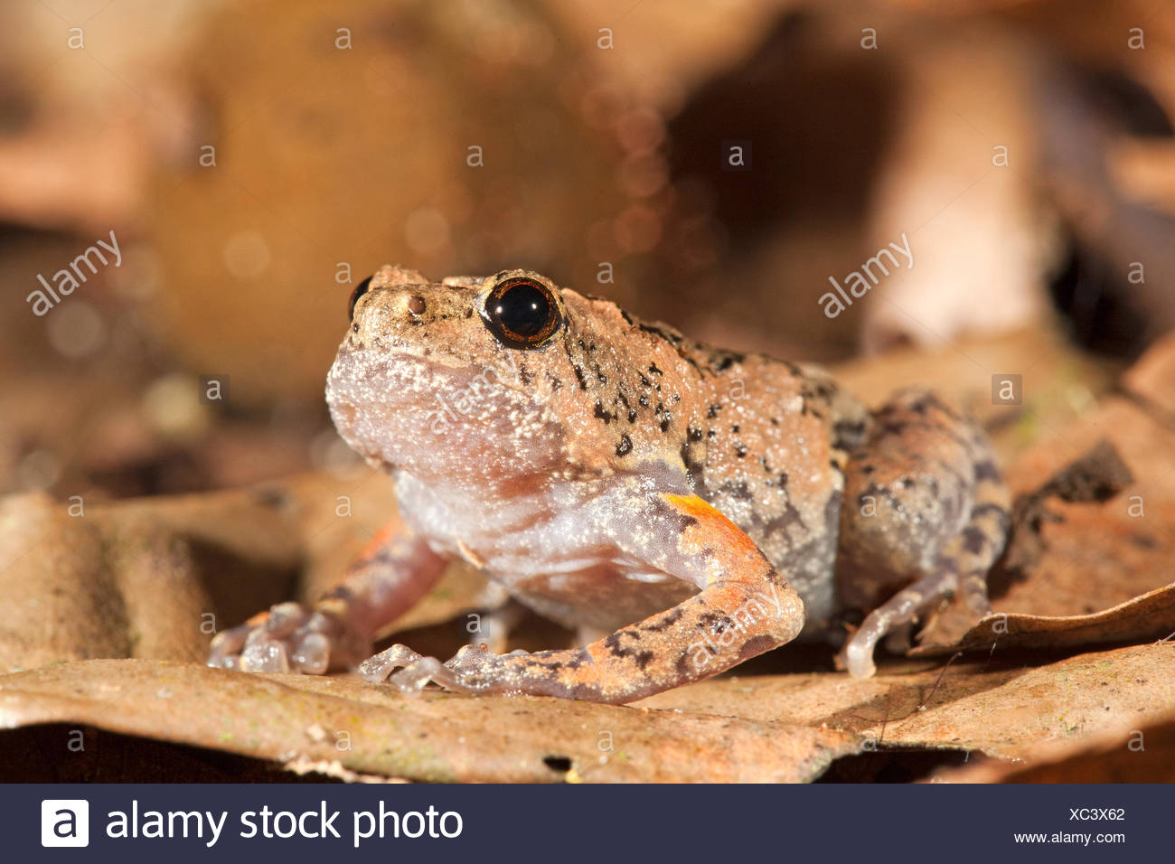 Photo of a tree hole frog, they lay their eggs in tree holes, males call from tree holes so the females can locate them - Stock Image
