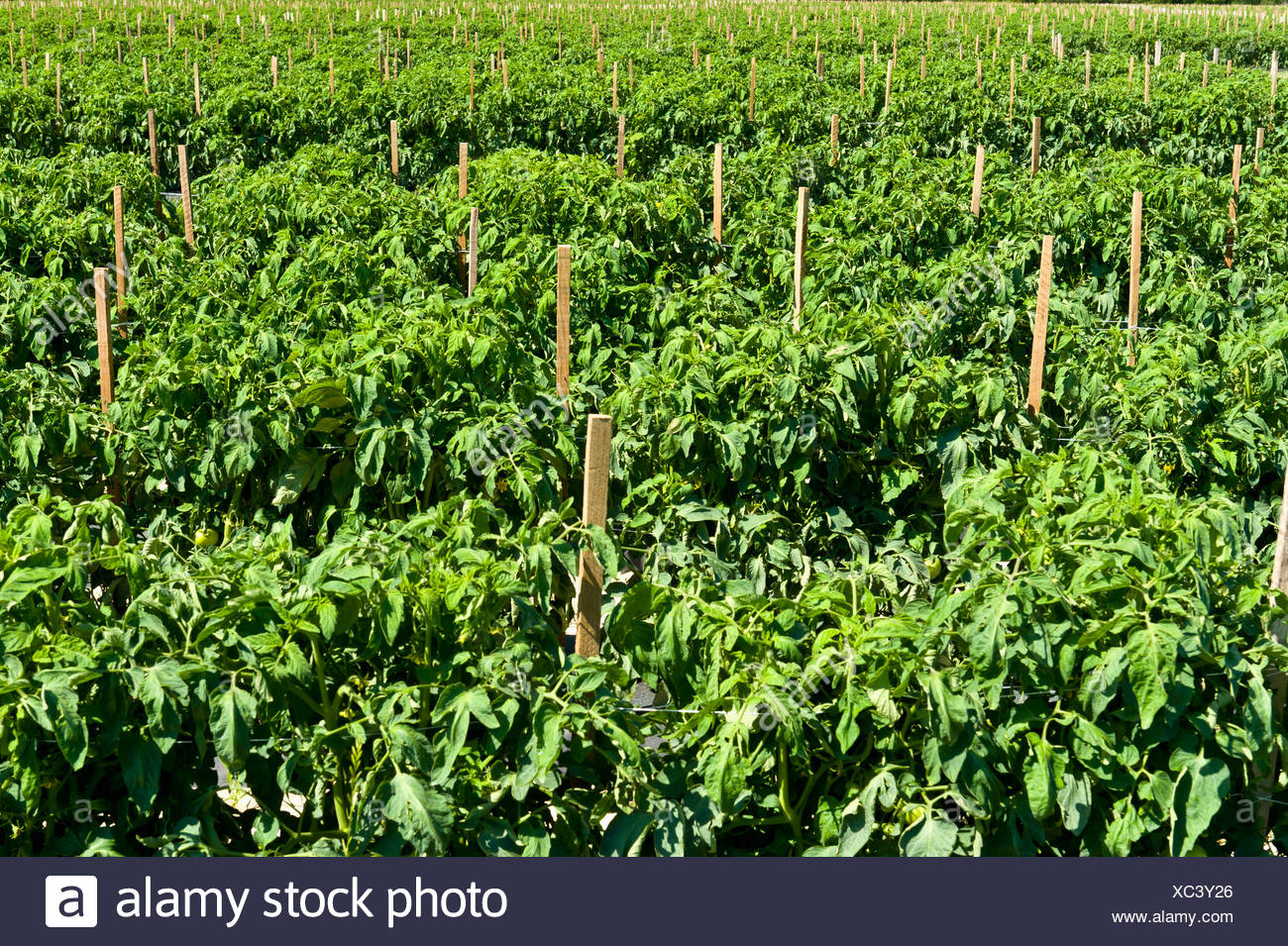 Agriculture - Large field of mulched, irrigated and staked fresh market tomato plants / near Hamburg, Arkansas, USA. - Stock Image