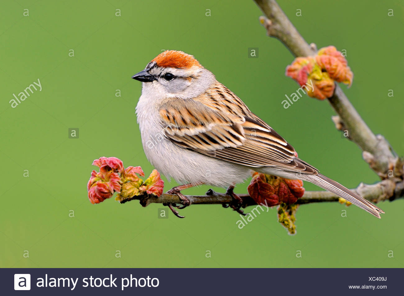 Chipping sparrow (Spizella passerina) on perch at Mount Tolmie Park, Saanich, British Columbia, Canada - Stock Image