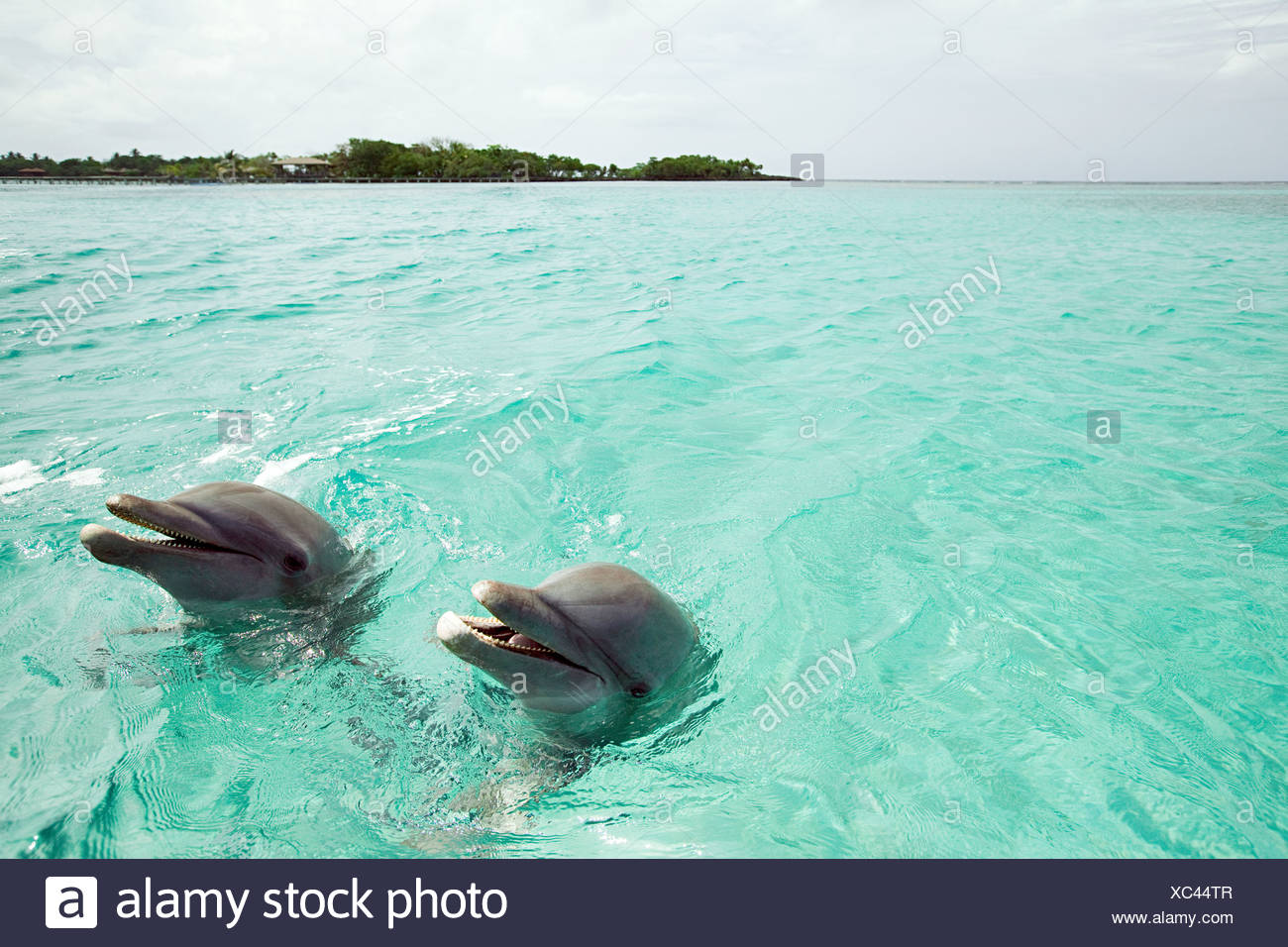Bottlenose dolphins emerging from sea - Stock Image