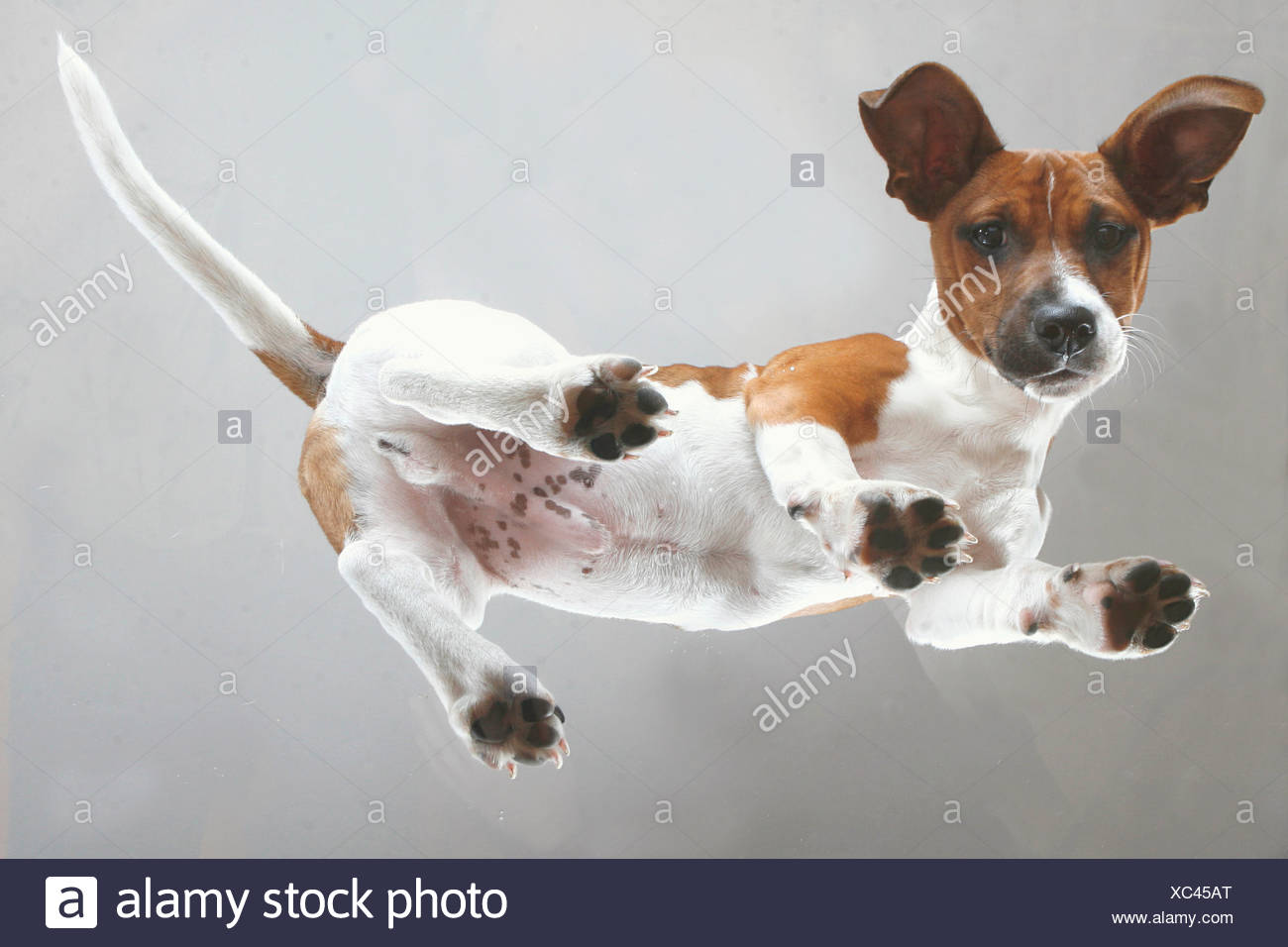 young Jack Russell Terrier - standing - Stock Image