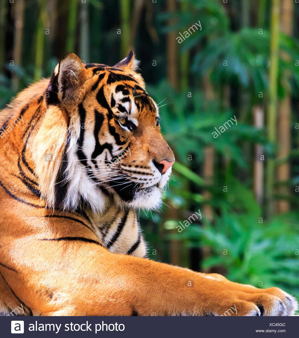 Regal Tiger - Stock Image