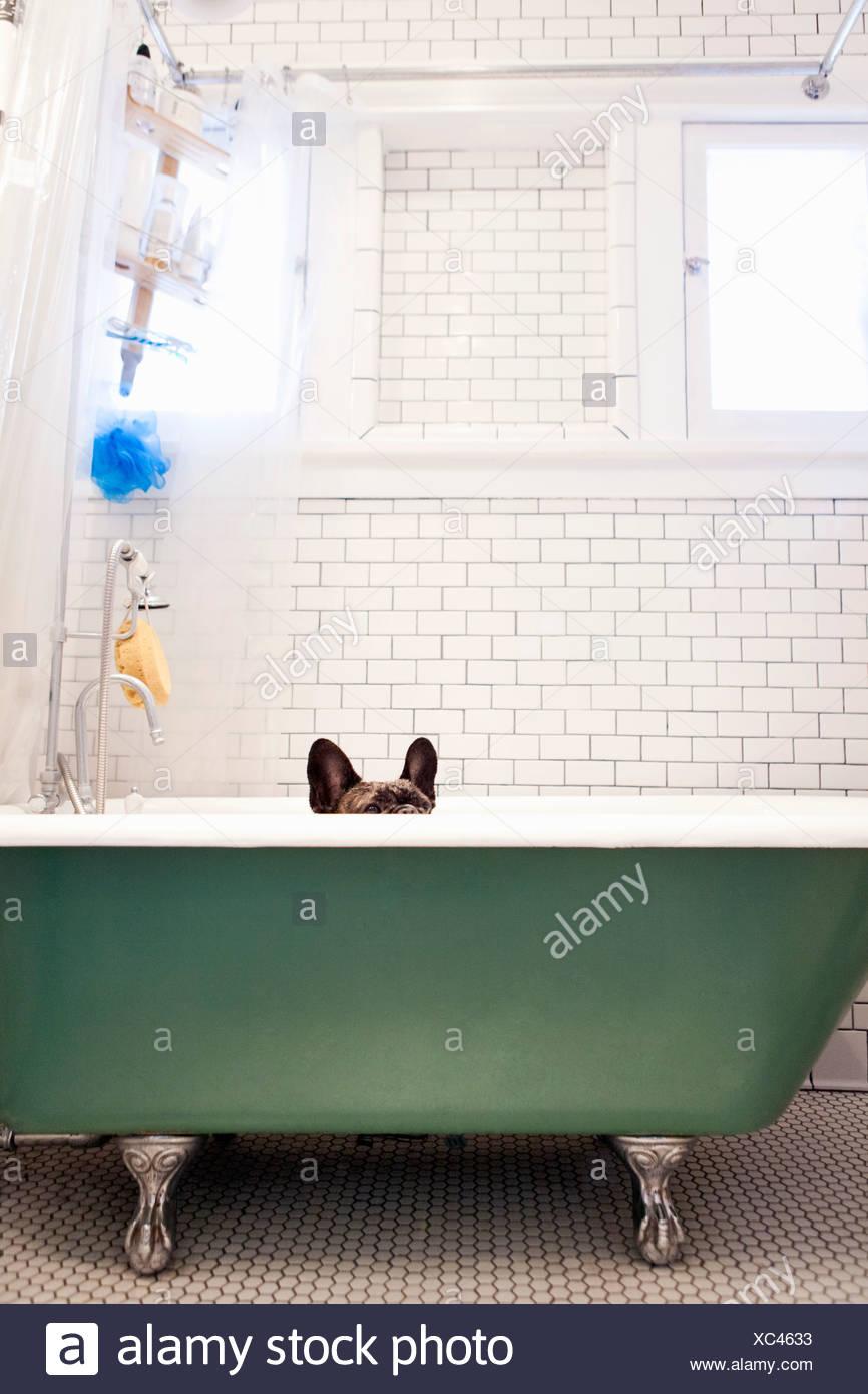 French bulldog sitting in bathtub - Stock Image