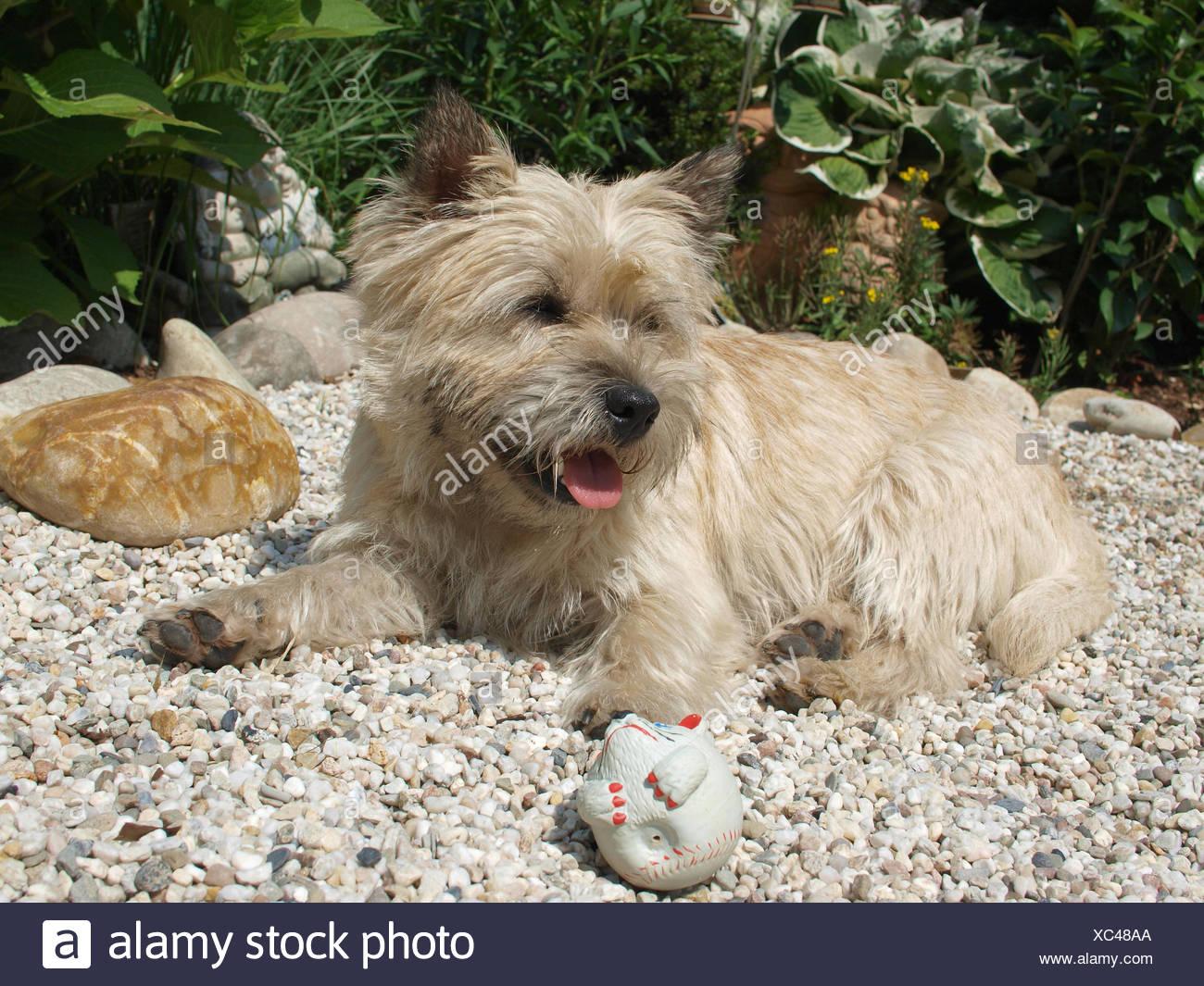 dog terrier species pedigree animal dog species pedigree cairn hunderasse cairn - Stock Image