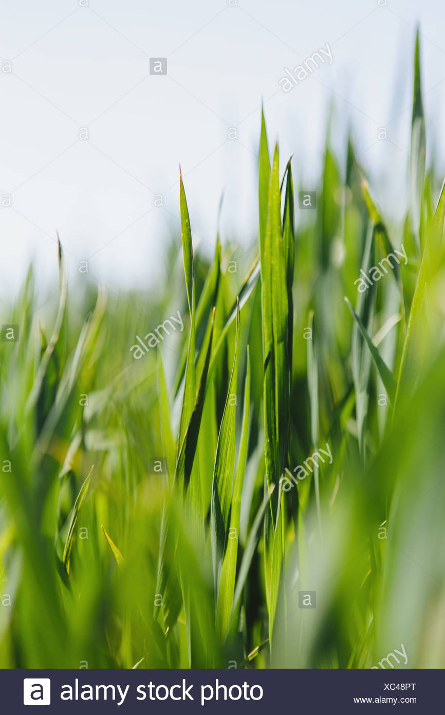 food crop, a field of wheat. Green stems and growing wheat stalks and ears developing. A field near Pullman, Washington, USA - Stock Image