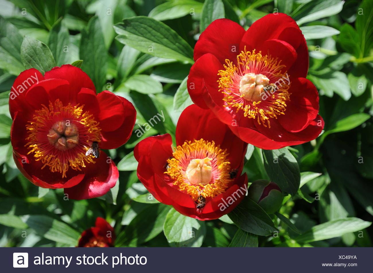 Scarlet red single peony Stock Photo