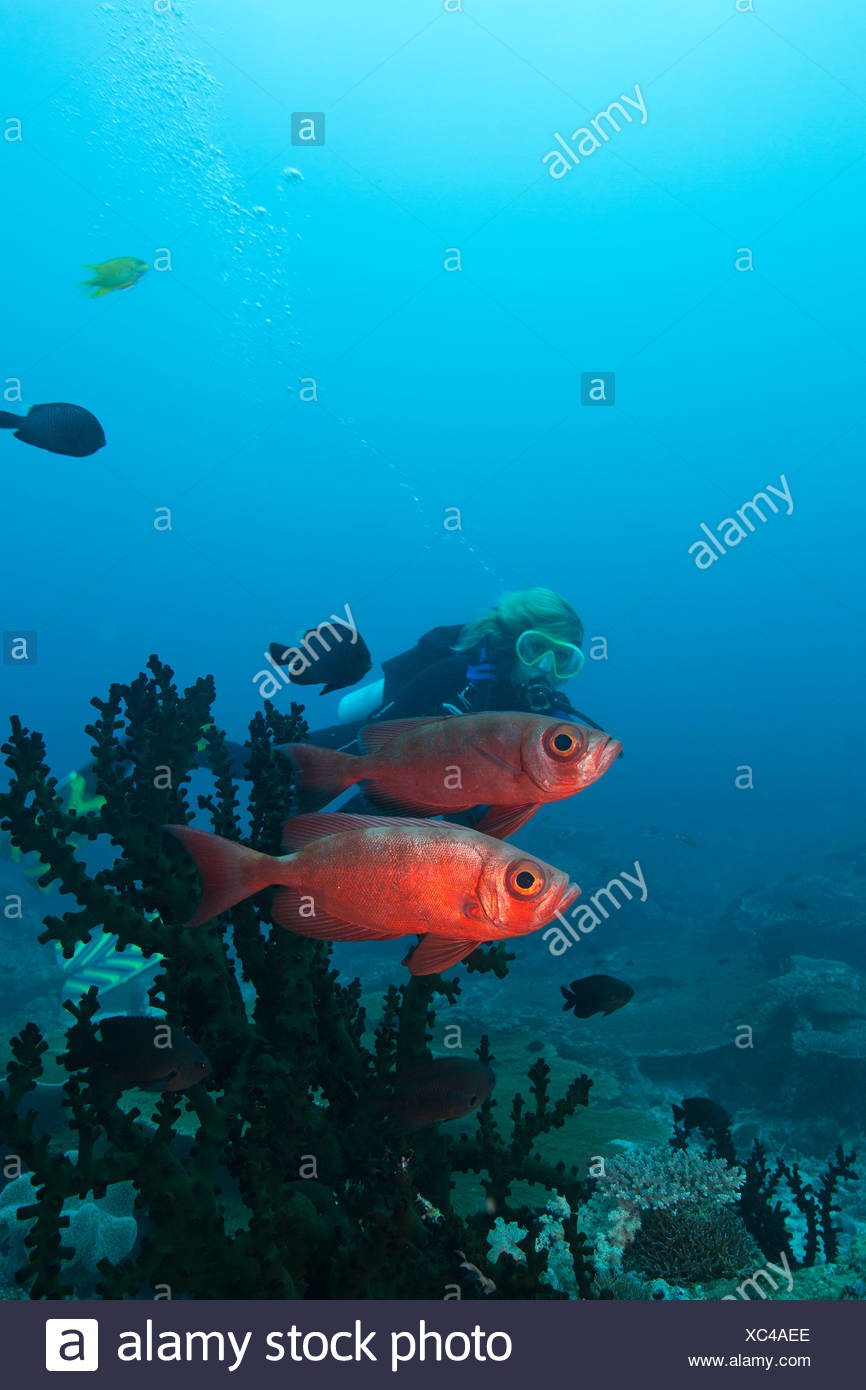 Diver and Bigeye. - Stock Image