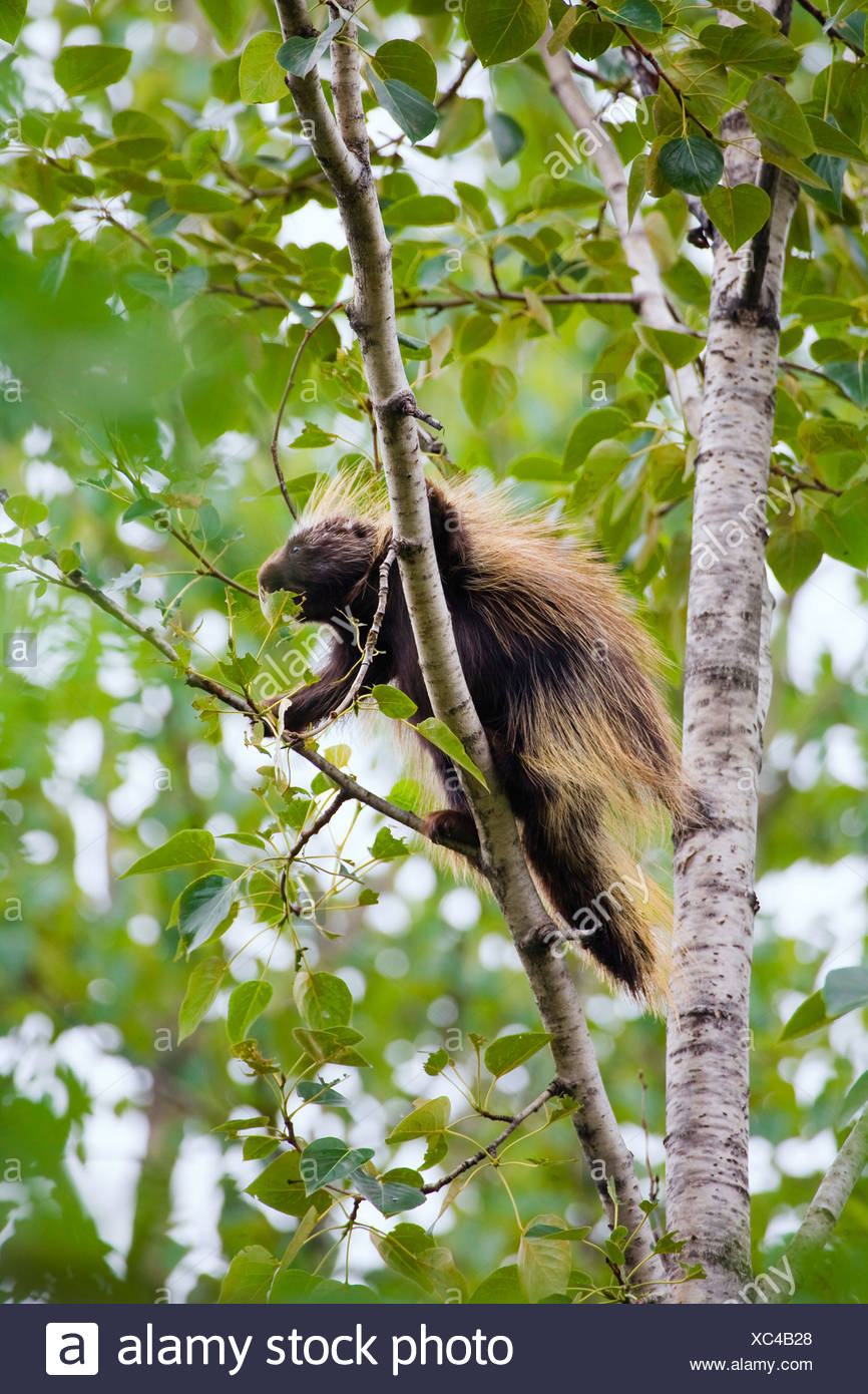 North American porcupine (Erethizon dorsatum), climbing in a tree, USA, Alaska Stock Photo