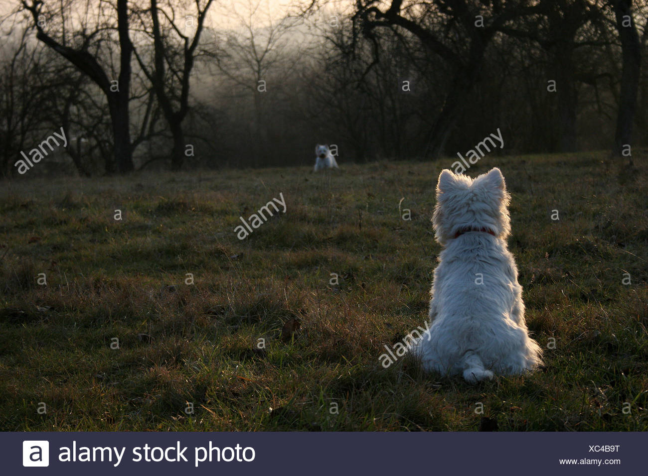 terrier,hunde,westi,west highland terrier,wiese - Stock Image