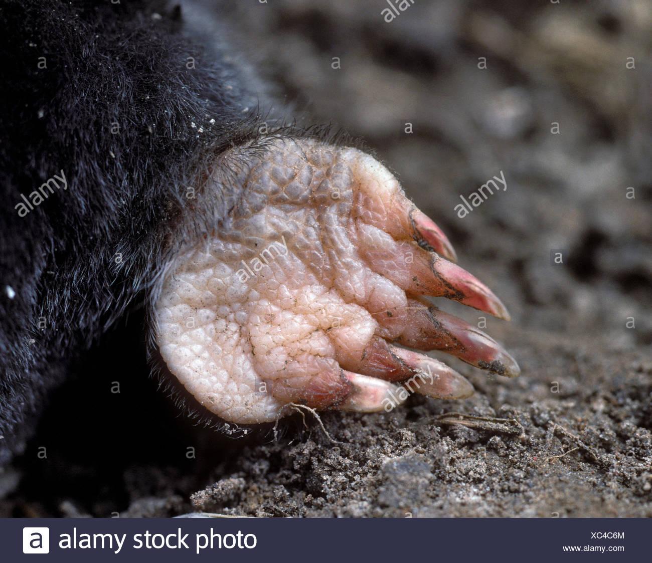 Mole - Talpa europaea - Stock Image