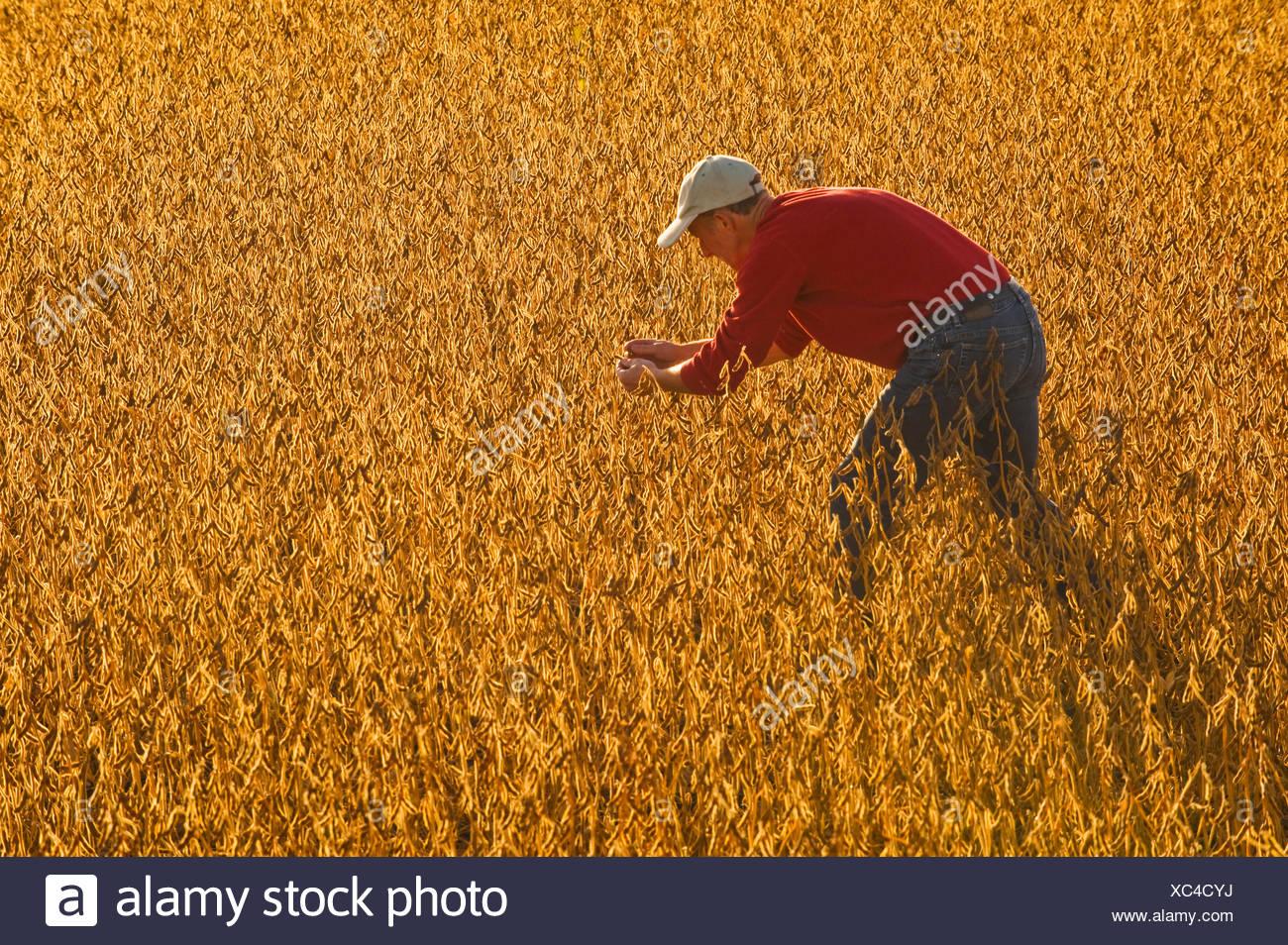 a farmer checks the maturity of soybean pods in a field , near Lorette, Manitoba, Canada - Stock Image