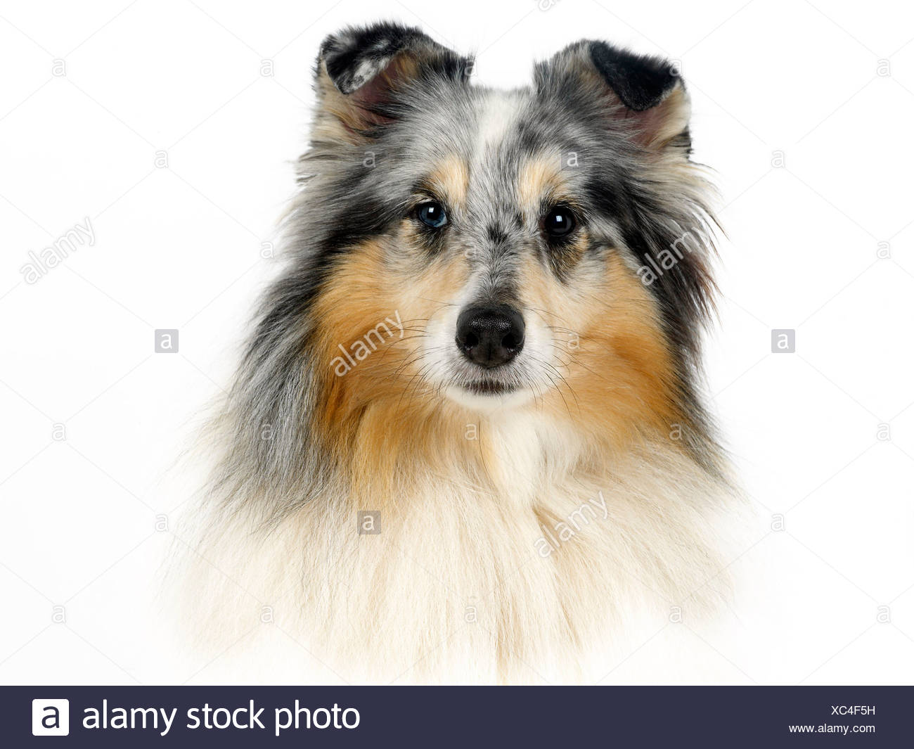 A portrait of a blue merle collie. - Stock Image