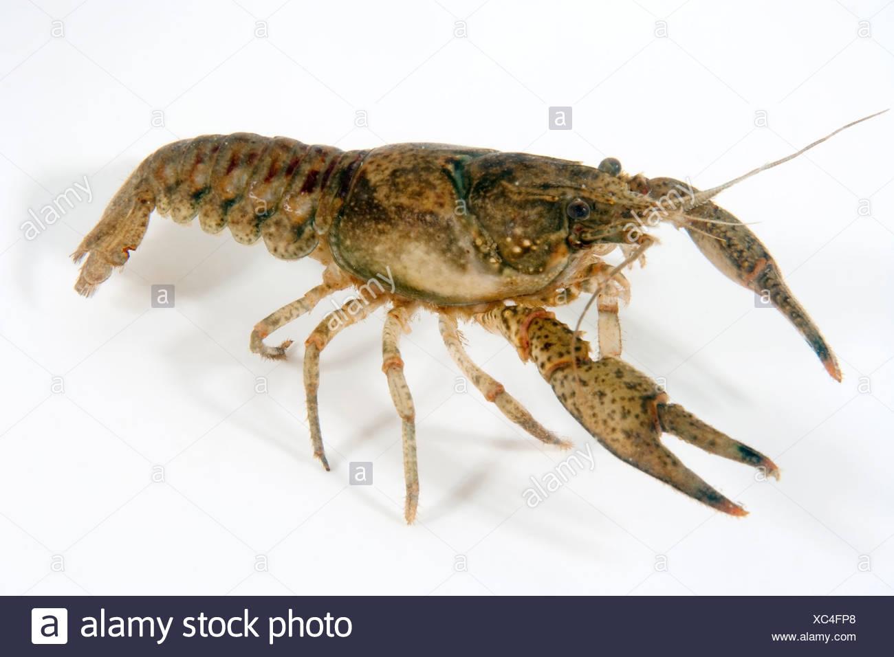 North American Crayfish, Orconectes limosus, Lake Lugano, Ticino, Switzerland - Stock Image