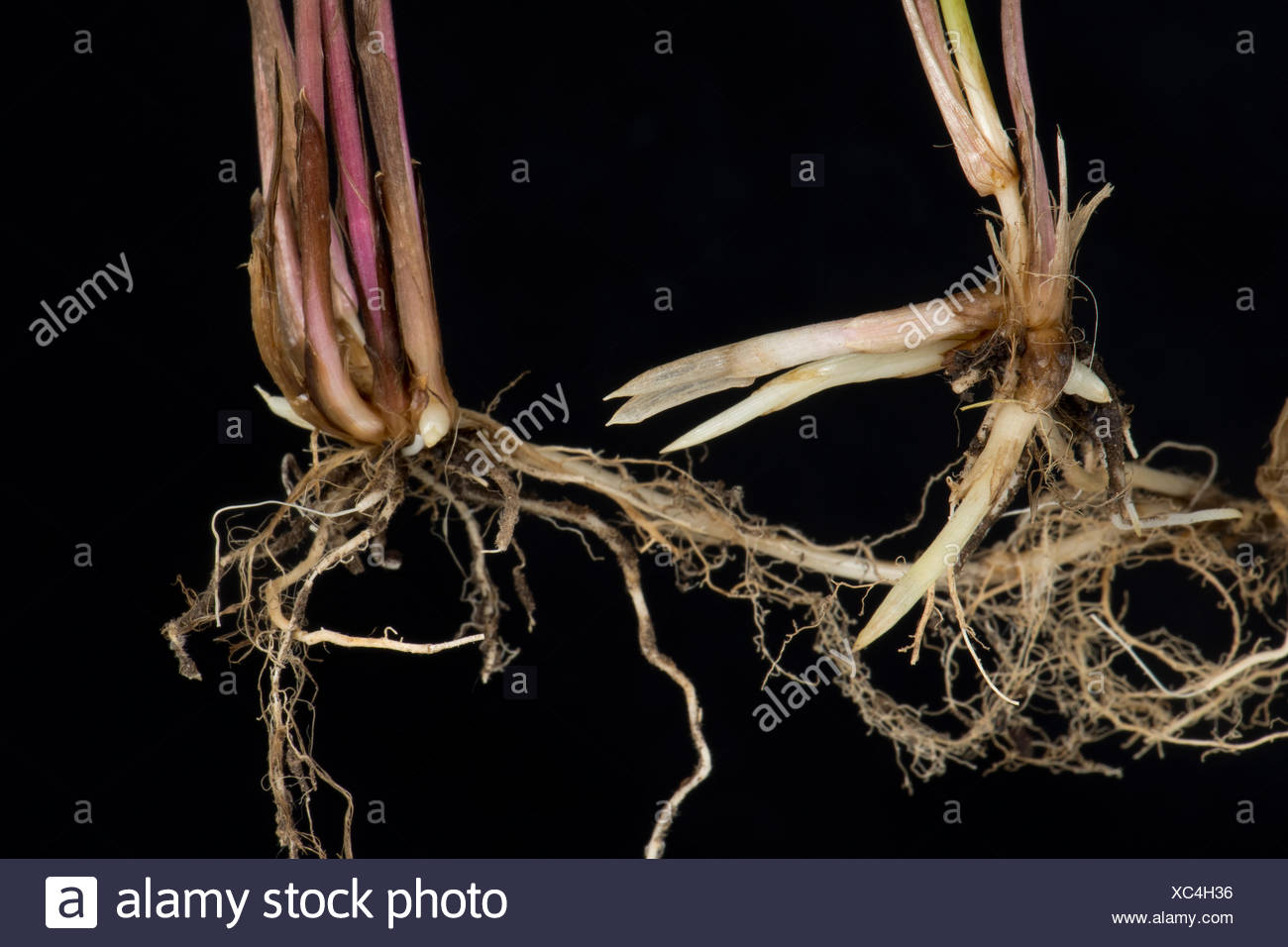 Common couch, Elymus repens, shoots and roots from underground rhizomes of this invasive perennial creeping grass weed - Stock Image